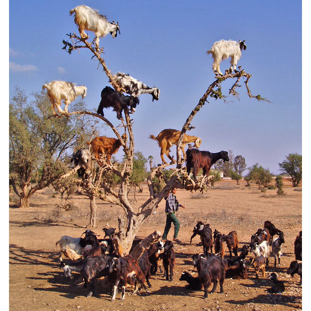 goats-in-a-tree_2043578i