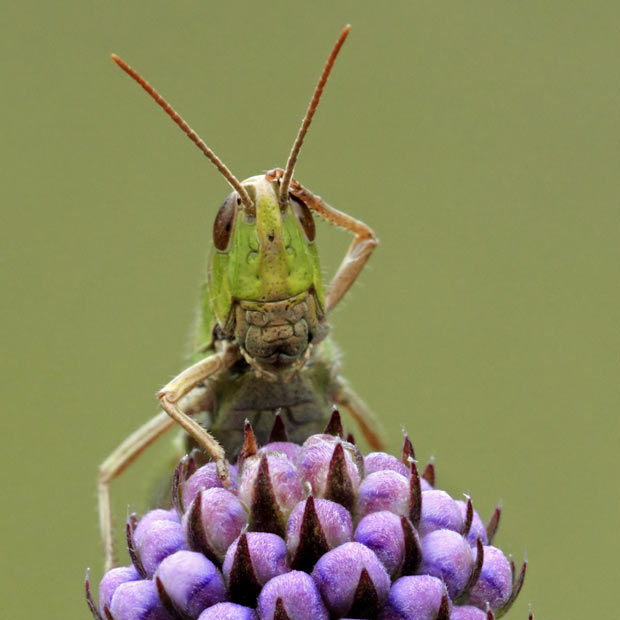 confused-grasshopp_2035373i