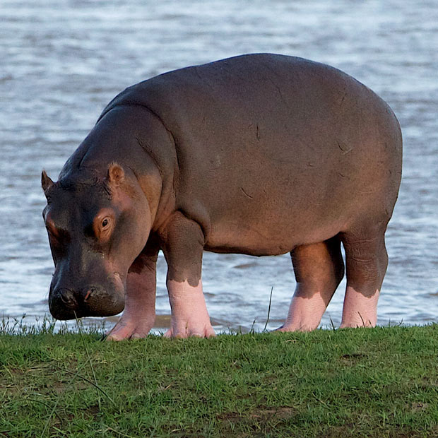 hippo-pink-boots_1880119i