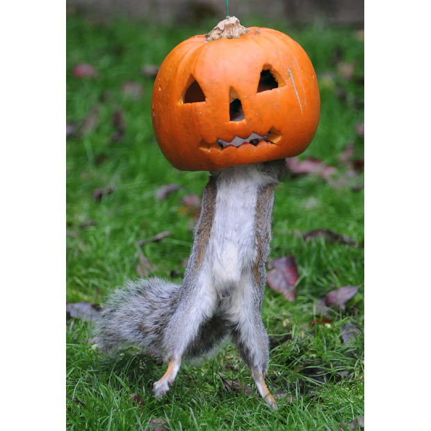 squirrel-pumpkin_2036491i