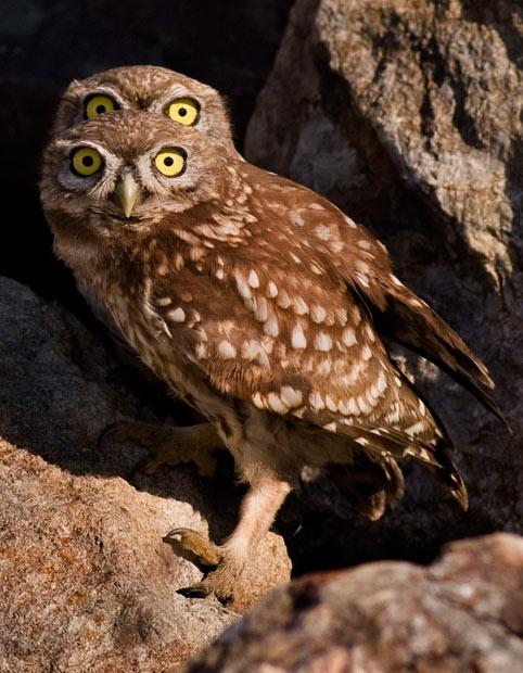 four-eyed-owl_2079830i