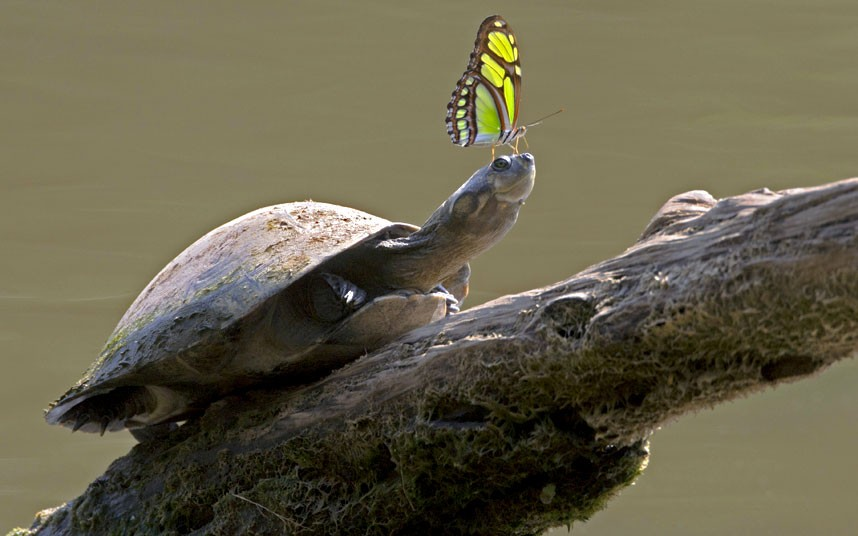 tortoise-butterfly_2167335k