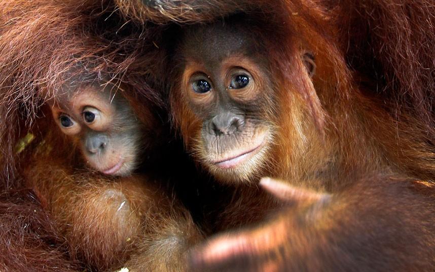orangutans_2193000k