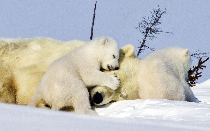 polar-bear-cubs_2169446k