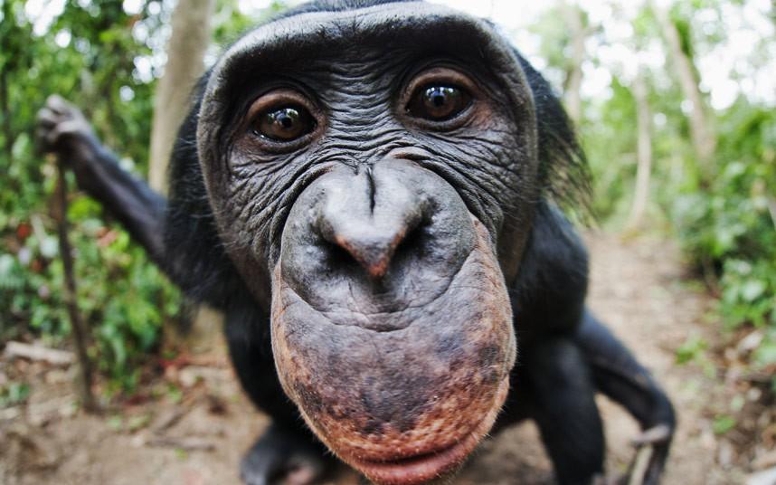 potd-bonobo_2372431k