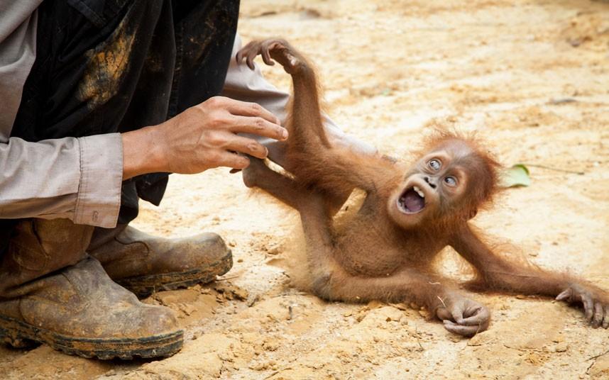 baby-orangutan_2353677k