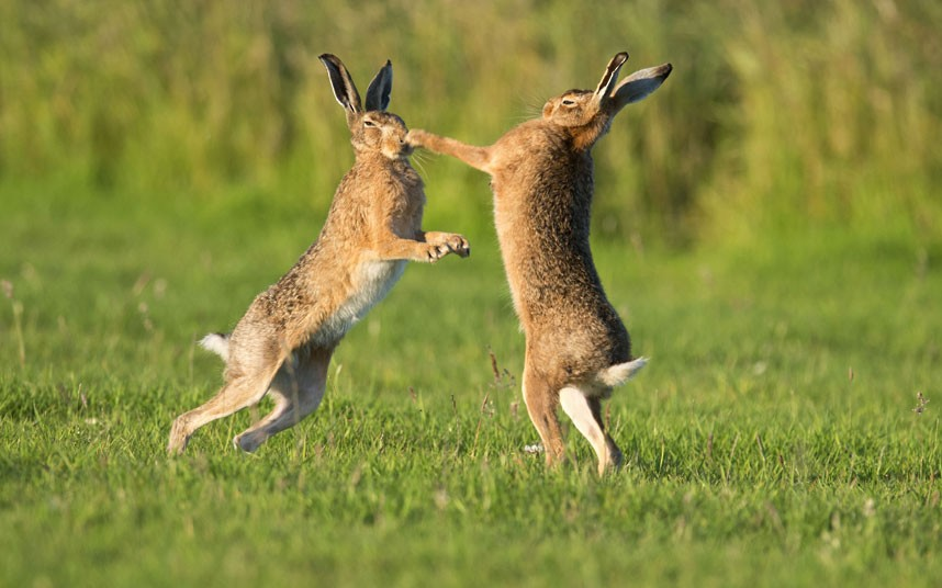 boxing-hares_2322467k