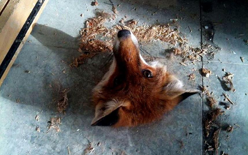 fox-floorborards_2325395k