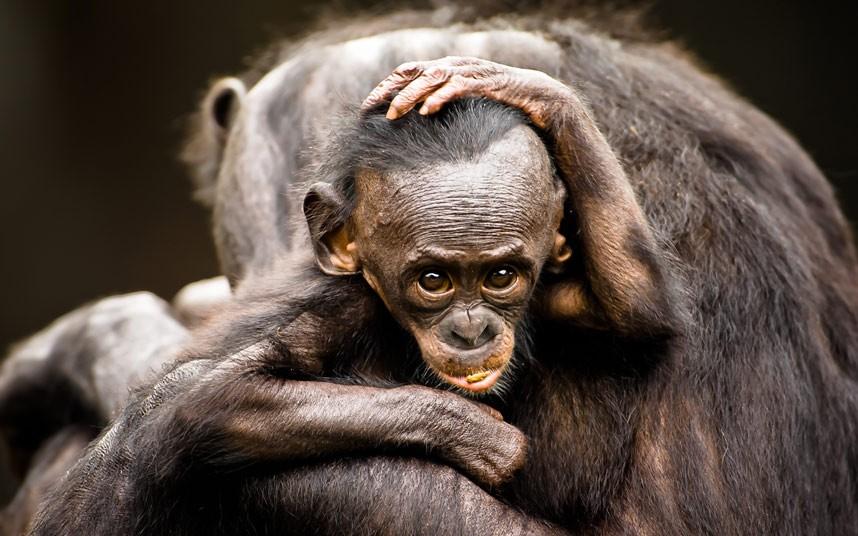 potd-chimp-2-summa_2376475k