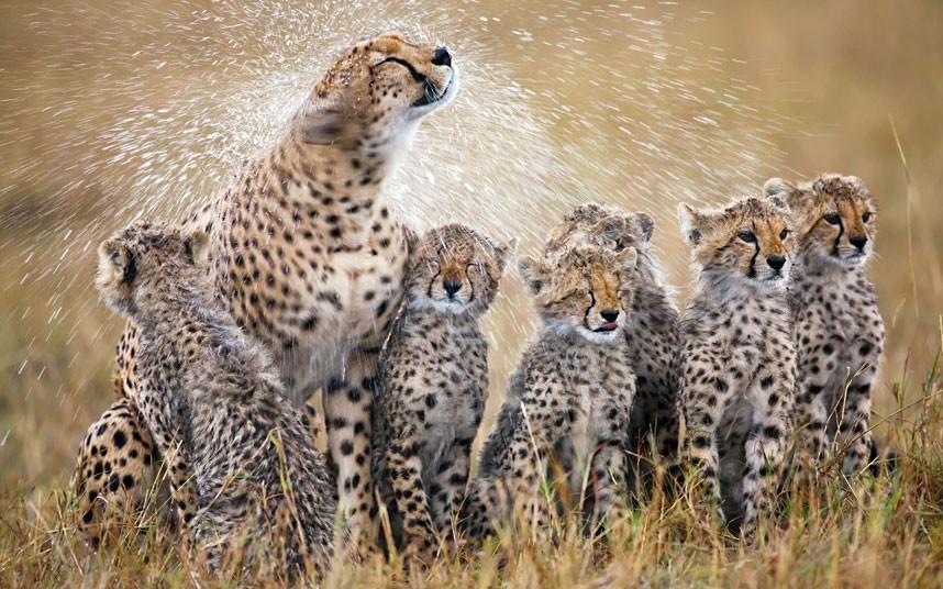 cheetahs-rain_2285948k