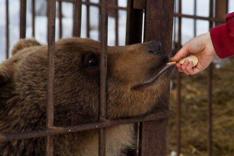 Медведь в этно-деревне Кайныран