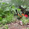 lavender, store-bought flowers, and volunteer veggies