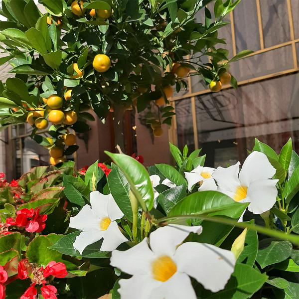 апельсины на Вёрёшмарти_01