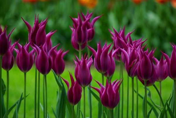 тюльпаны5