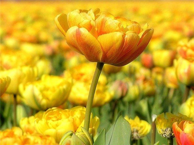 тюльпаны9