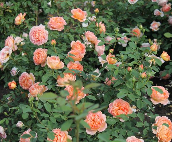 роза кустарниковая6