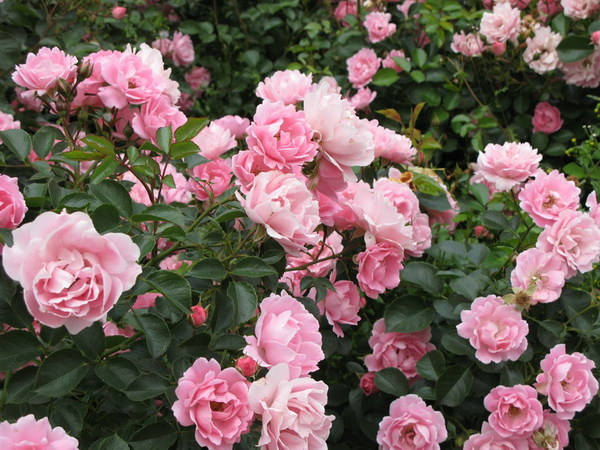 роза кустарниковая