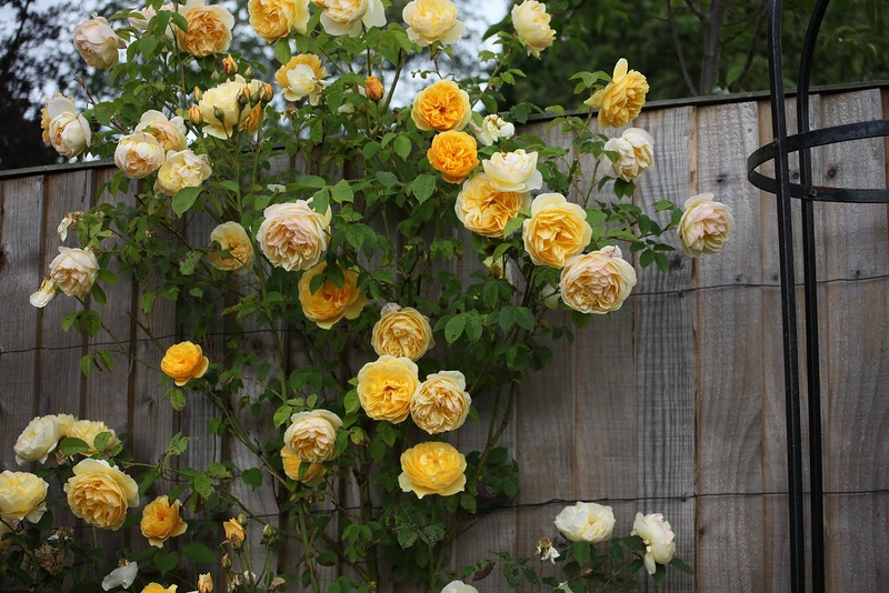 роза плетистая2