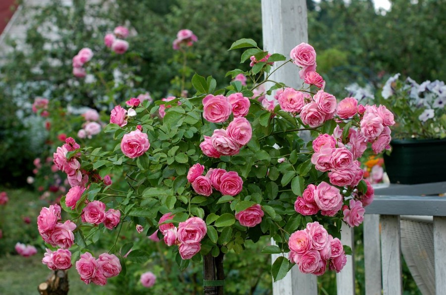 розы каскадные4