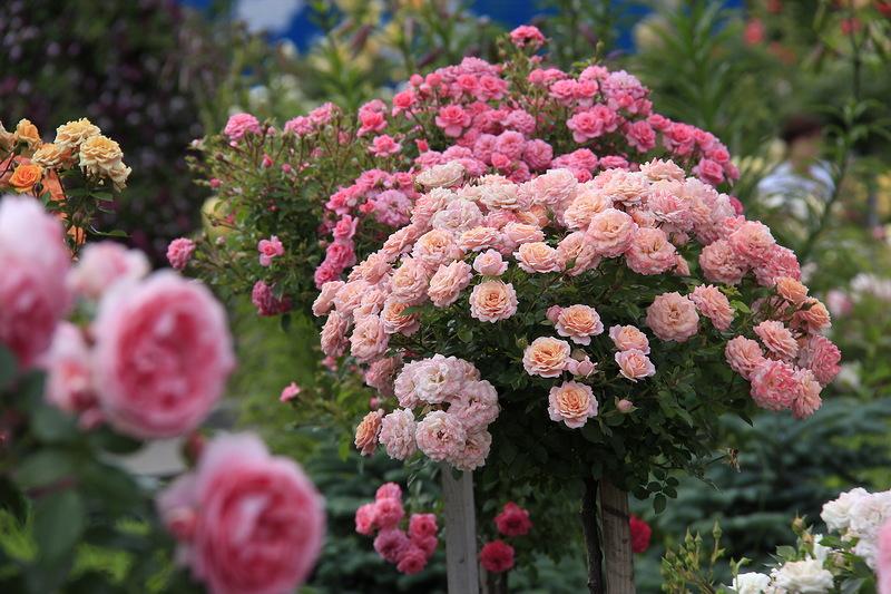 роза штамбовая2