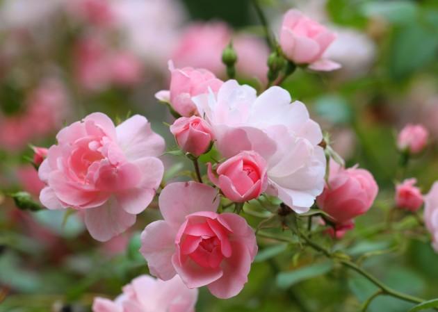 розы3