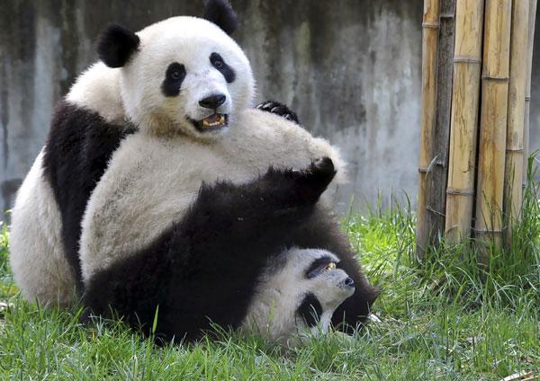420-pandas