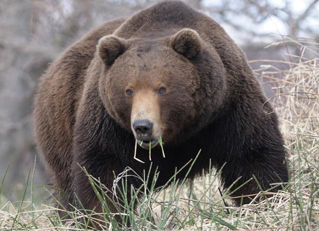 Громадный медведь ест травку