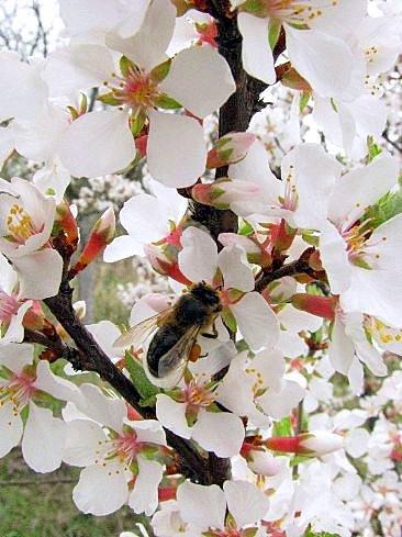 Пчела на войлочной вишне