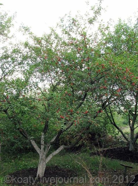 Шпанка дерево