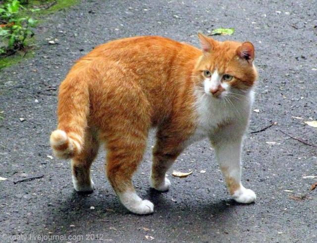 Дворовой кот Бублик.