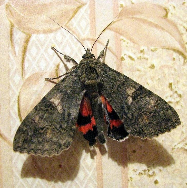 Бабочка ночная