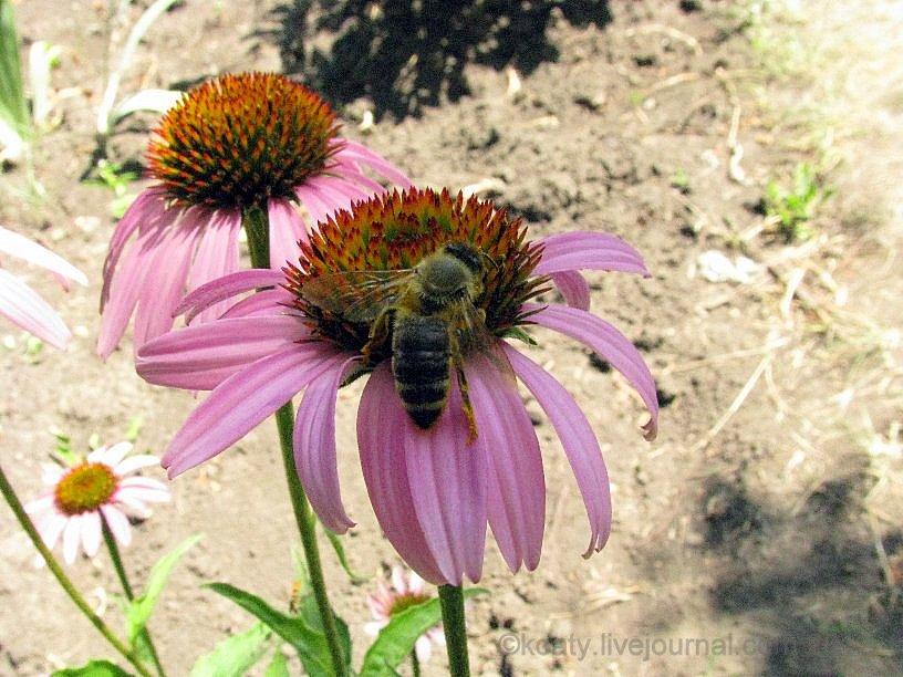 Пчелка на эхинацее