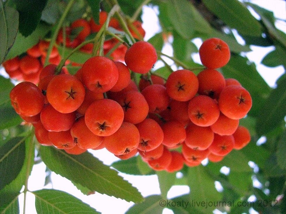 ягодки рябины