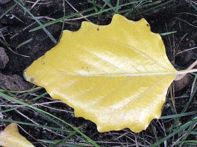 Лаковый листок )