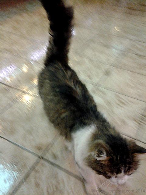 Котик бежит гладиться :))