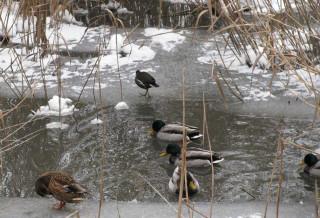 птица и утки