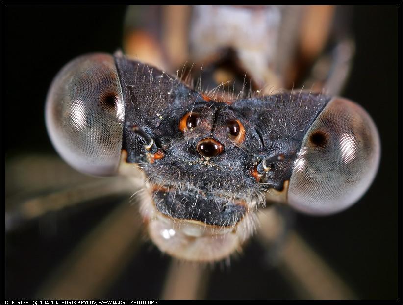 macro239-insects-familiar-bluet-damselfly-odonata-enallagma-civile