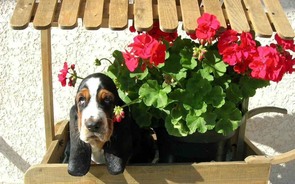 basset-hound-flowers
