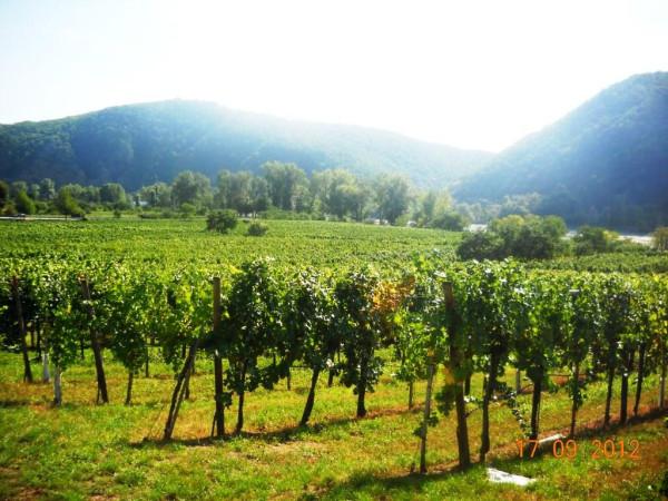Виноградники Вахау