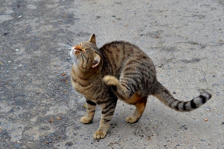 кот почесун