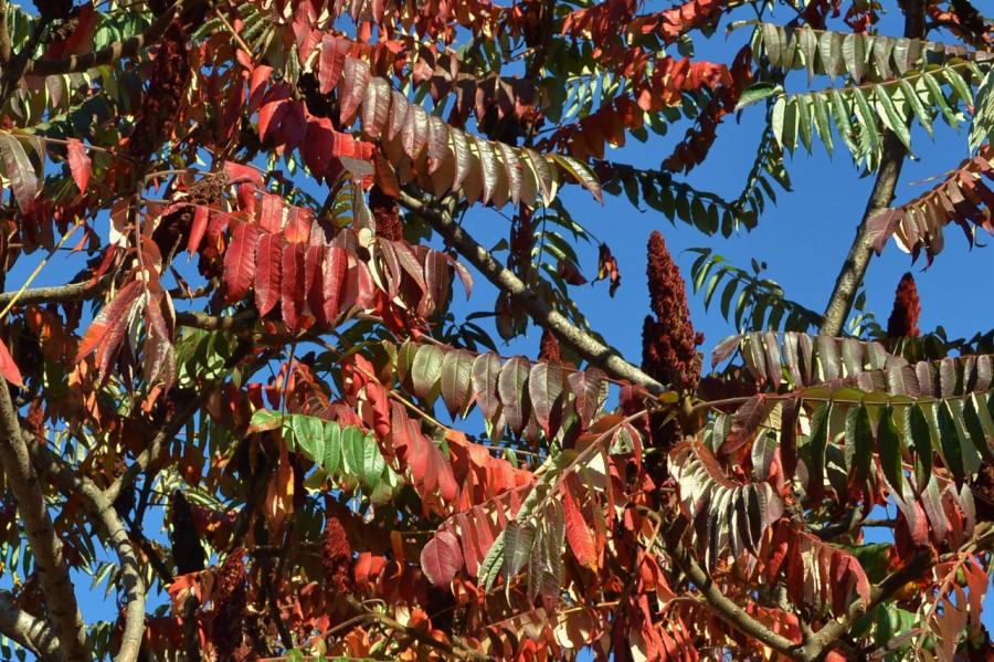 уксусное дерево