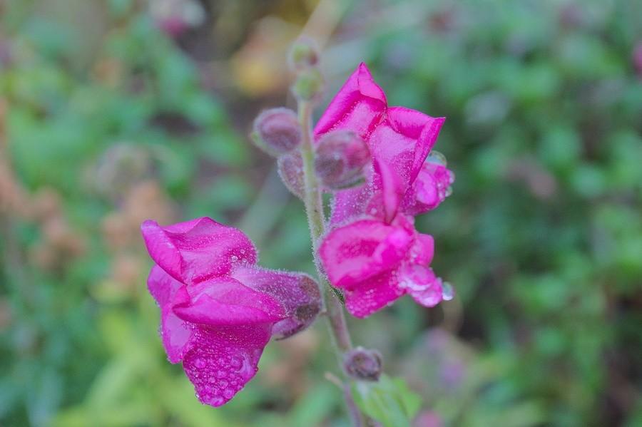 цветы дождь1