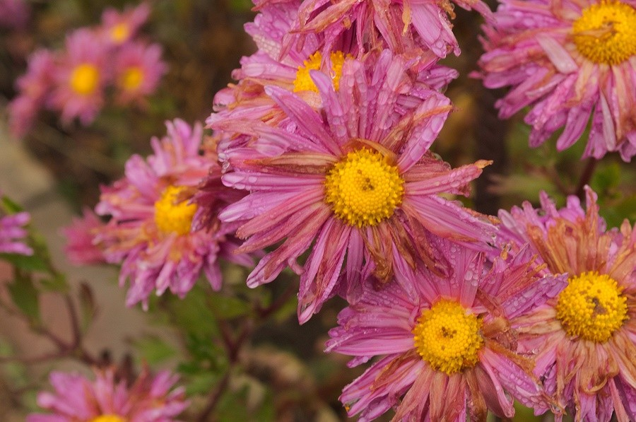 цветы дождь