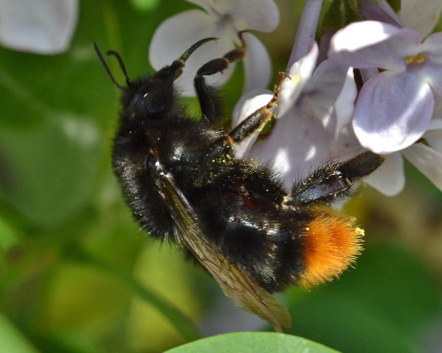 Шмели и пчелы картинки