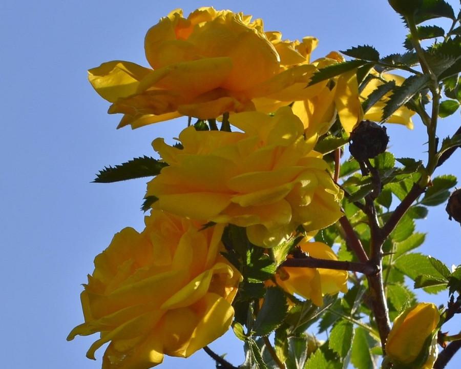 роза м1.JPG