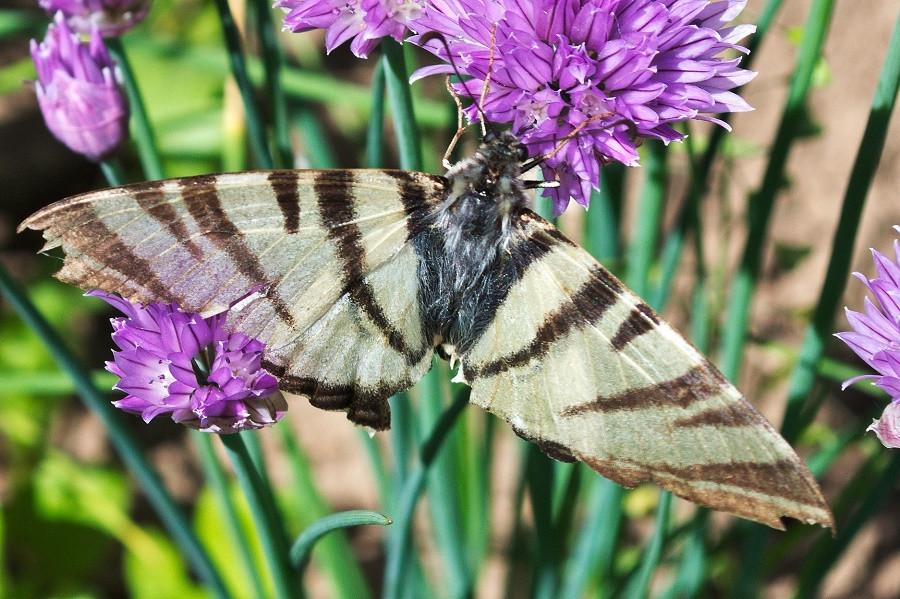 бабочка на луке.jpg