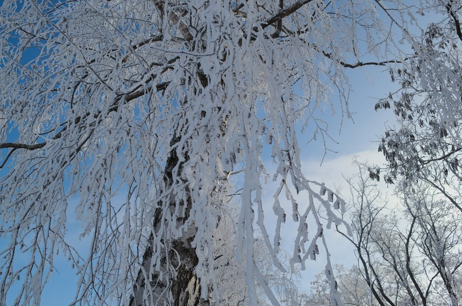 береза в снегу