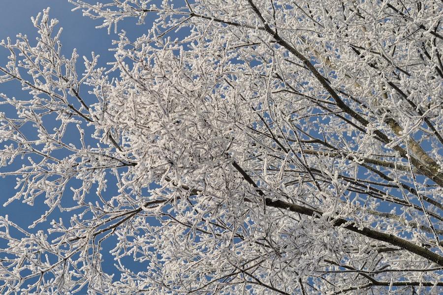ветви зимней березы