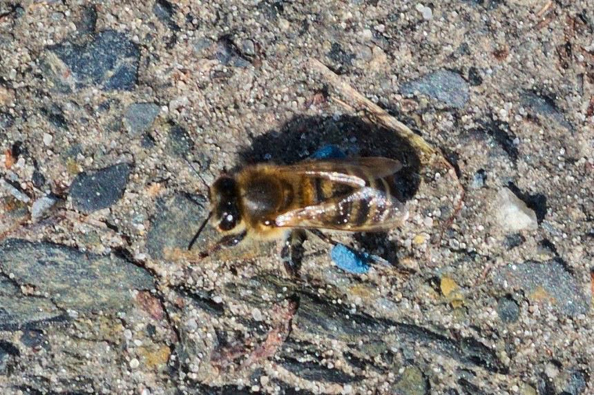 пчела на стекле