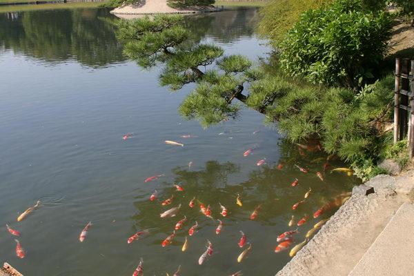 Карпы кои в большом водоему Коракуэн